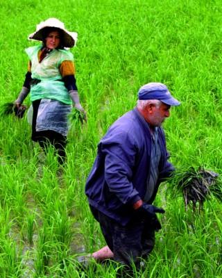 Un matrimonio iraní trabaja en un campo de arroz en Kukursar, en la provincia del Mar Caspio de Mazandarán